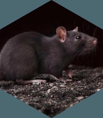 Rats de grenier